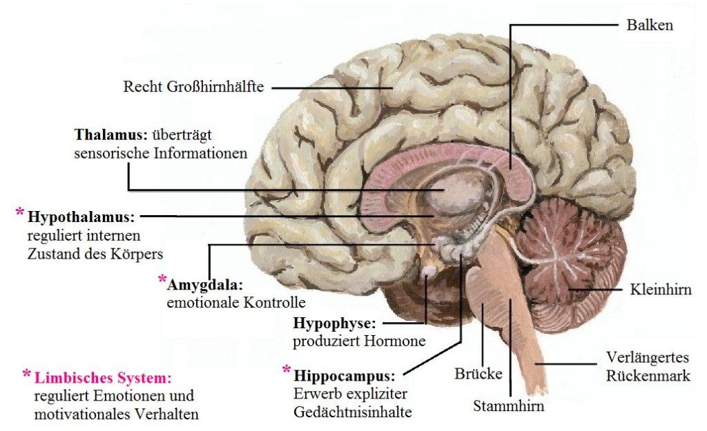 Gehirn Funktionen